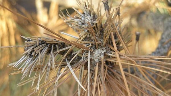 Sphaeropsis Tip Blight Dead Needles