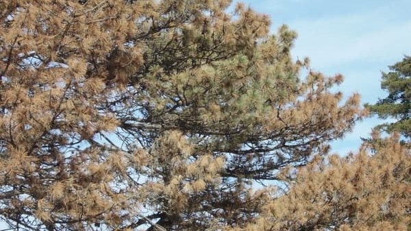 brown needles on austrian pine due to wilt disease
