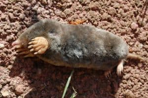 Broad footed mole