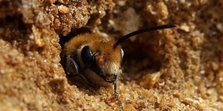 ground nesting bee emerging from nest