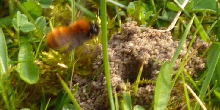 ground nesting bee in lawn