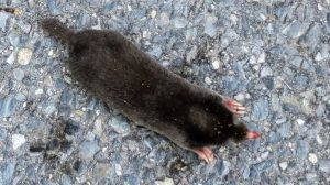 Hairy tailed mole