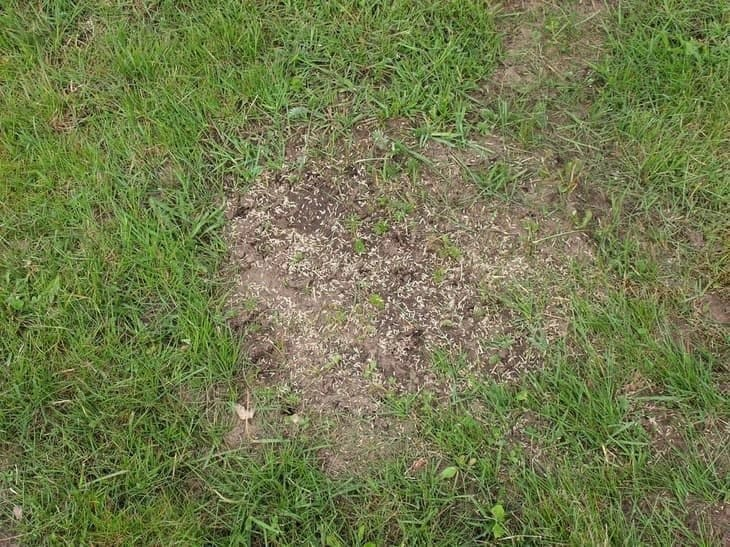 overseeding the lawn in spring