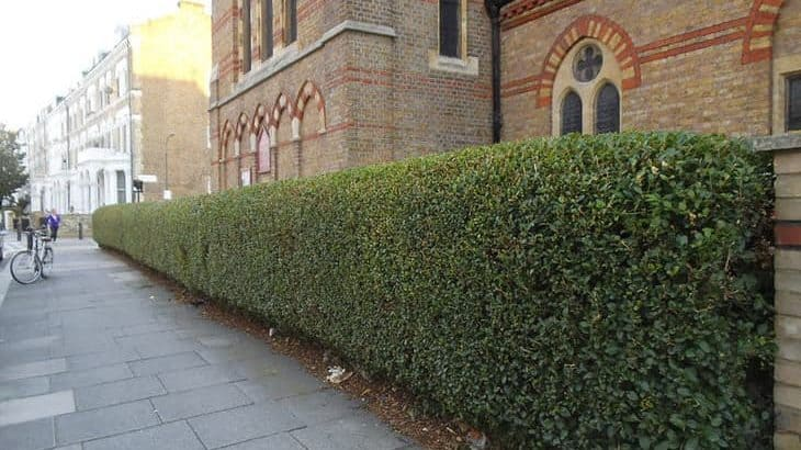 rounded privet hedge in front of church