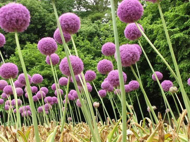 allium giganteum - insect repelling plants