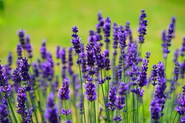lavender - insect repelling plants