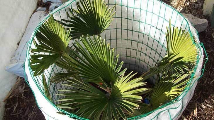 winterizing palm trees chicken wire method