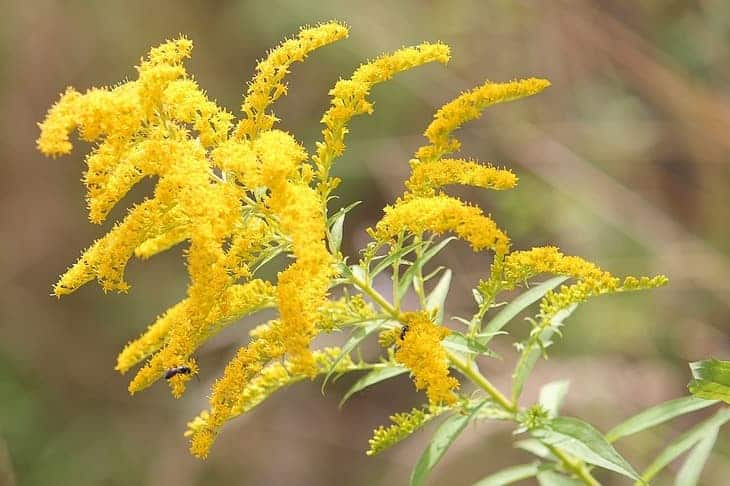 golden-rod-can-attract-butterflies