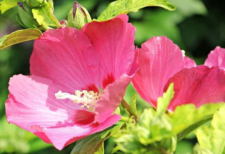 hollyhock-can-attract-butterflies