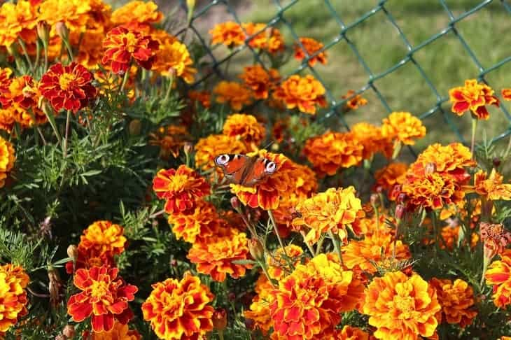 marigold-can-attract-butterflies