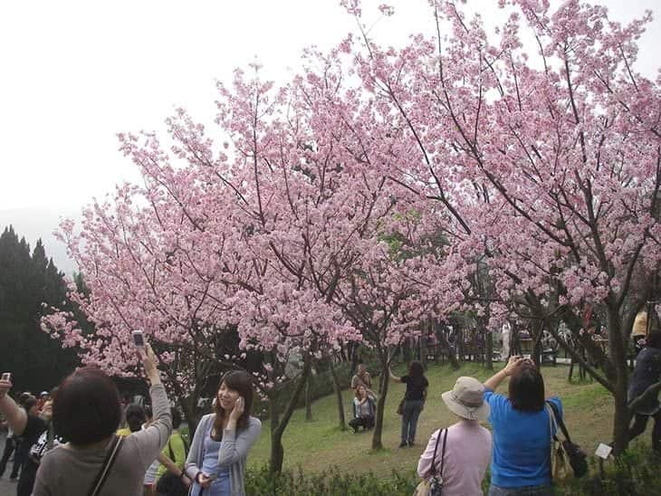 cherry blossom and tourists