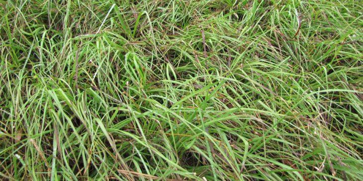 overgrown bahia grass