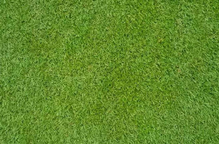 bermuda grass - Cynodon dactylon