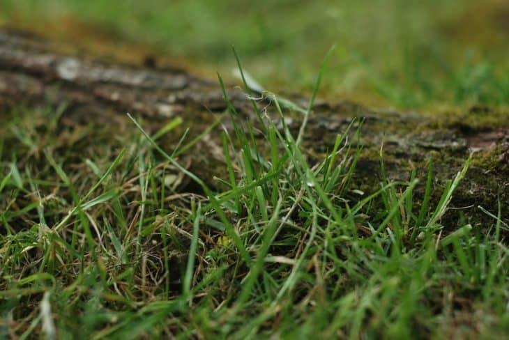 bermuda grass vs