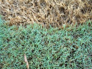 bermuda grass maintenance