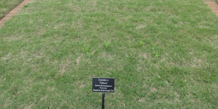 Bermuda grass types