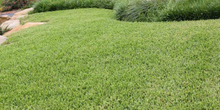 Buffalo Grass - Bouteloua dactyloides
