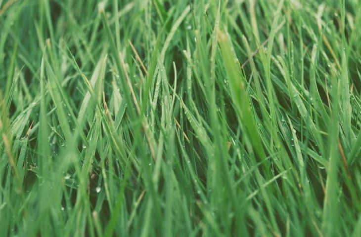 types of lawn turf grass