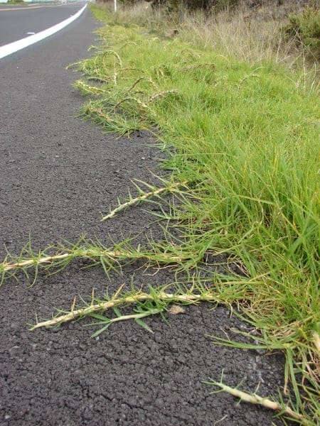 Pennisetum clandestinum - kikuyu grass runners spreading