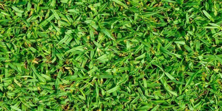 Kikuyu grass - Pennisetum clandestinum