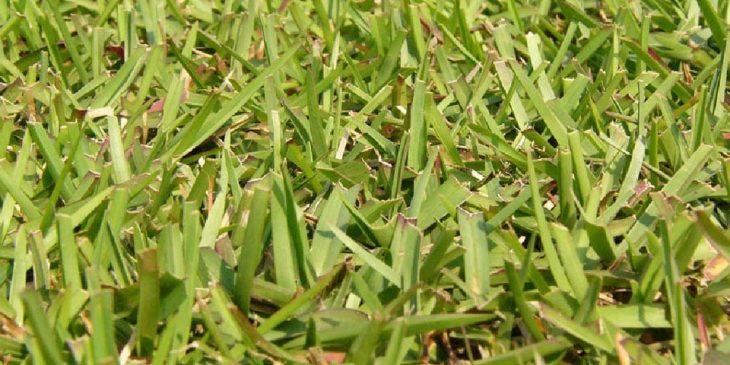 centipede grass close up