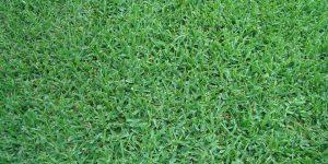 st augustine grass - Stenotaphrum secundatum