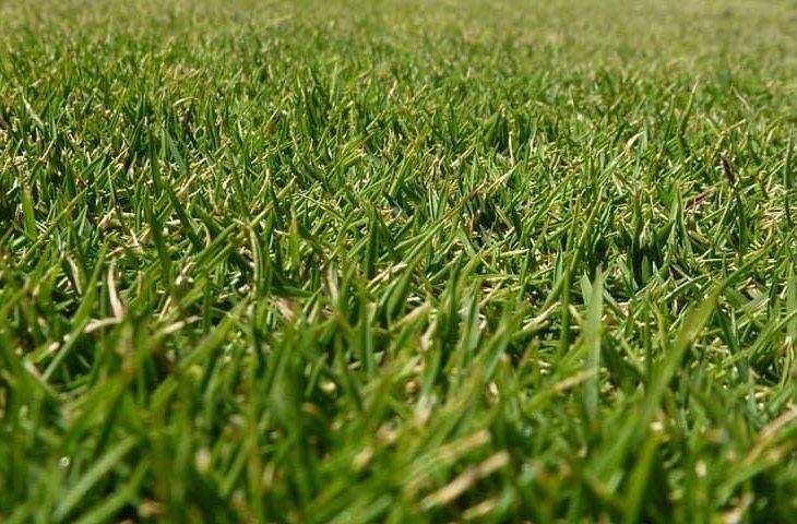 Zoysia grass vs other types