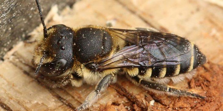 Alfalfa Leafcutter Bee (Megachile Rotundata)