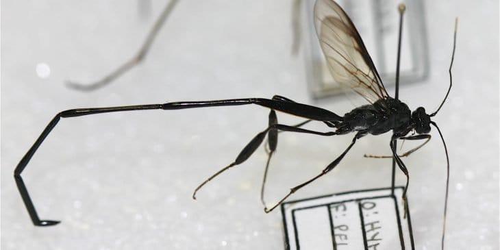 American Pelecinid Wasp (Pelecinus Polyturator)