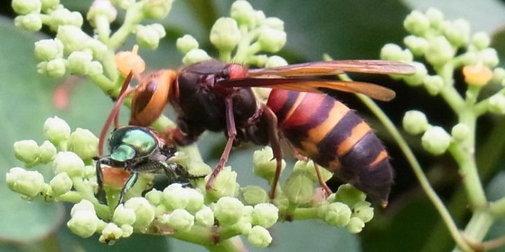 types of wasps: Black-Tailed Hornet (Vespa Ducalis)
