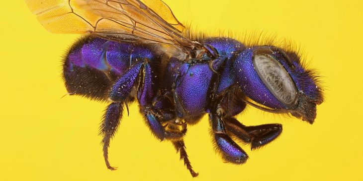 Blueberry Bee (Habropoda Laboriosa)