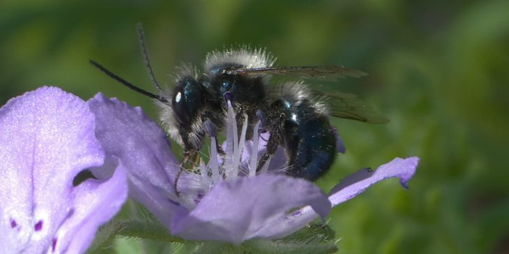 Mason Bee (Osmia Lignaria)