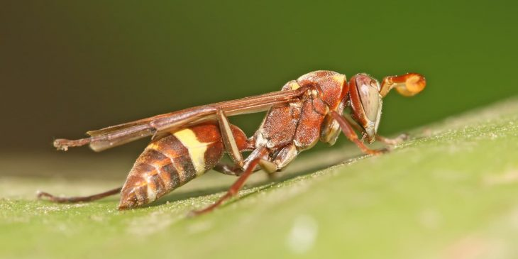 paper wasp Polistes africanus