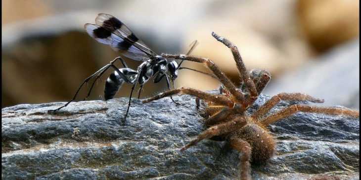types of wasps: Spider wasp