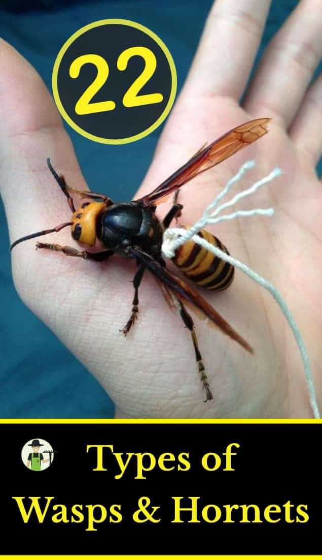 22 types of wasps and hornets