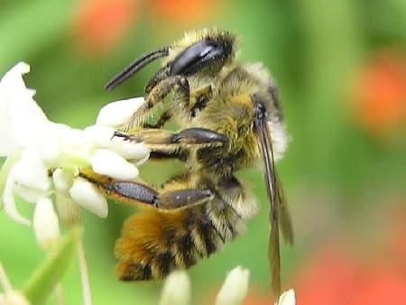 Western Leafcutting Bee (Megachile Perihirta)