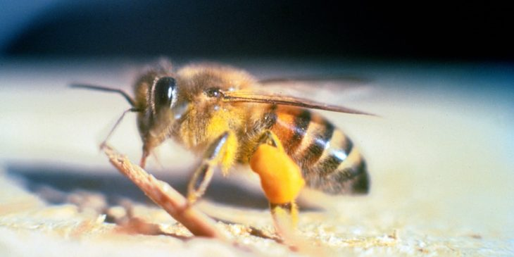 africanized-honey-bee-Apis_mellifera_scutellata