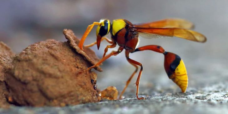 types of wasps: Potter wasp