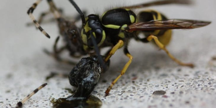 Wasp eating a spider
