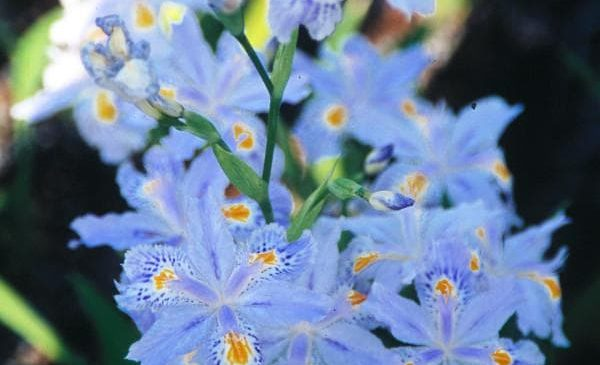 "Iris Japonica ""Eco Easter"""