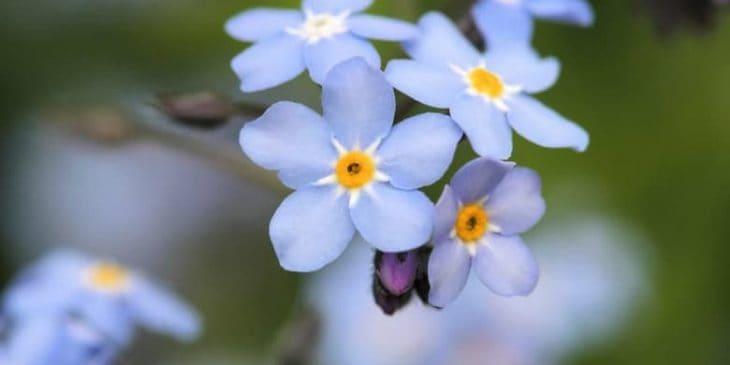 """Myosotis Palustris """"Southern Blues"""""""