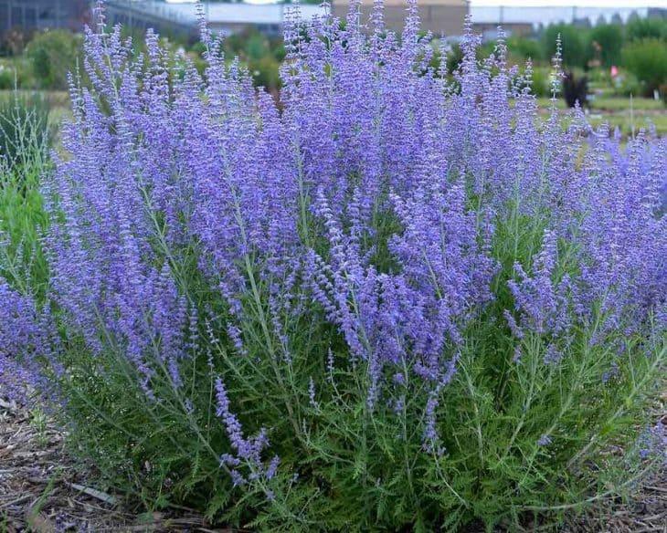 "Perovskia Atriplicifolia ""Blue Jean Baby"""