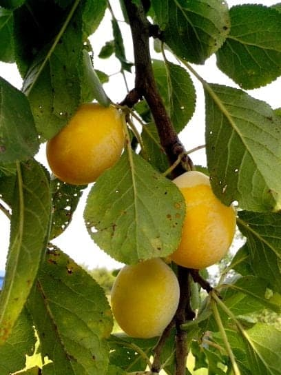American-Yellow-plums