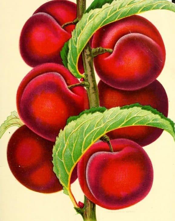 Apricot-Plum-Tree-Prunus-Simonii