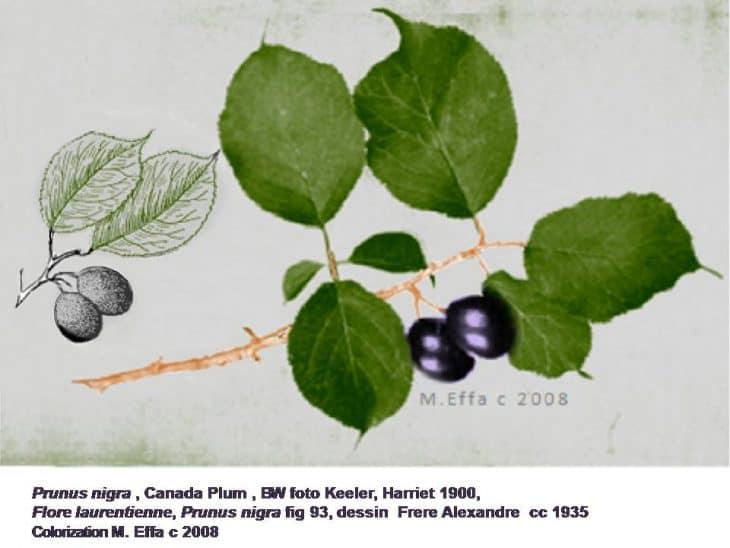 Canada-Plum-Tree
