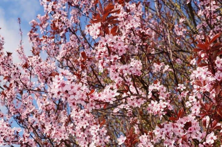 Cherry-Plum-Tree