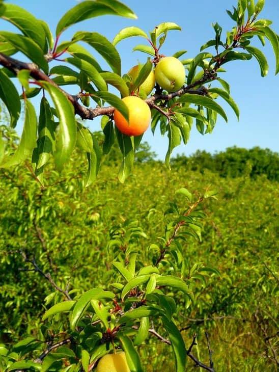 Chickasaw-Plum-Tree