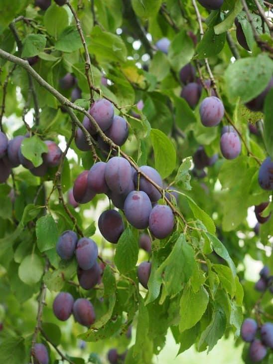 European-Plum-Trees