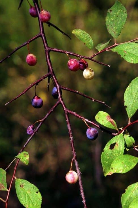 Flatwoods-Plum-Tree-Prunus umbellata