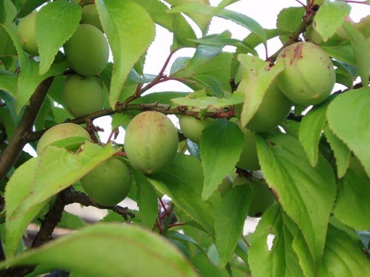 Fruits-of-Japanese-plum-tree